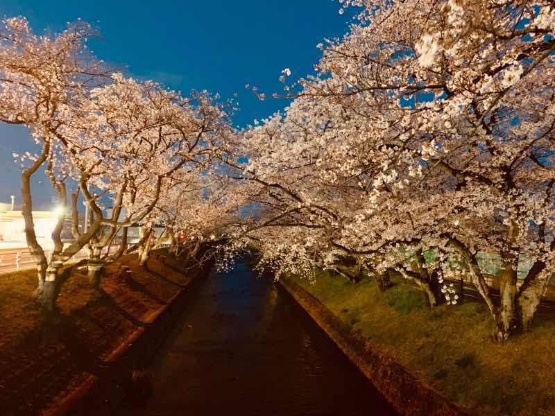 2020年の五条川の桜の様子です。 2020年はライトアップの自粛のため夜桜を画像加工してあります。