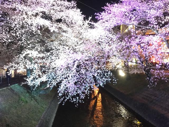 2019年の夜桜の様子です。カラフルにライトアップされた桜の花がとても綺麗です。
