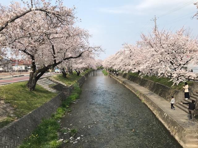 五条川の桜の花が満開に咲いています。 昼の桜の様子です。