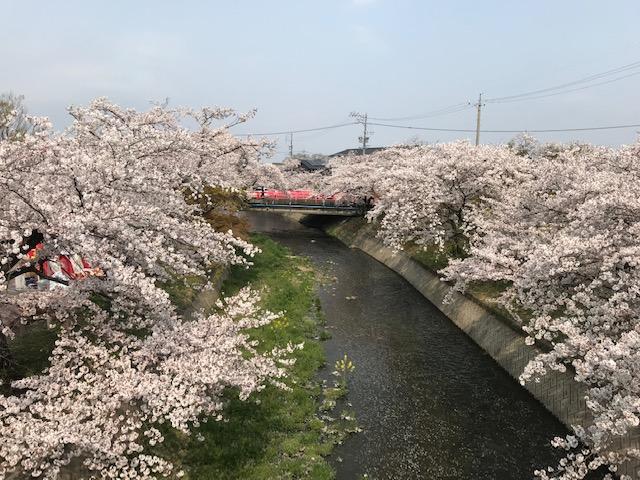 五条川の桜の花が満開に咲いています。 昼の桜の様子です。(2019年)