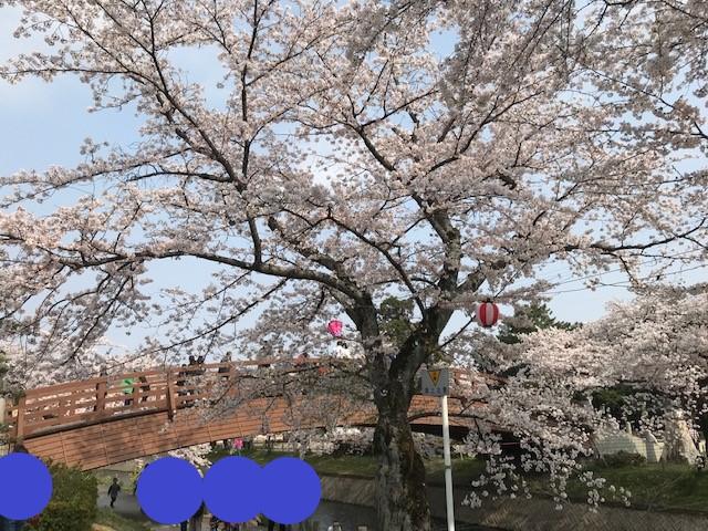 堀尾跡公園の五条川の桜の花が満開に咲いています。 昼の桜の様子です。(2019年)