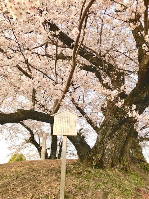 2019年の五条川の桜の様子です。 桜の花の満開の様子です。
