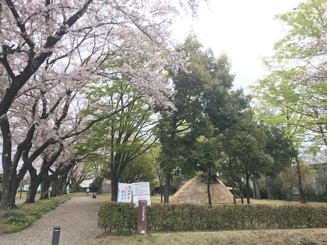 2019年の炉端遺跡公園( 竪穴式住居跡 ) の様子です。桜の花は満開が過ぎ、新緑の葉っぱが目立ち始めています。