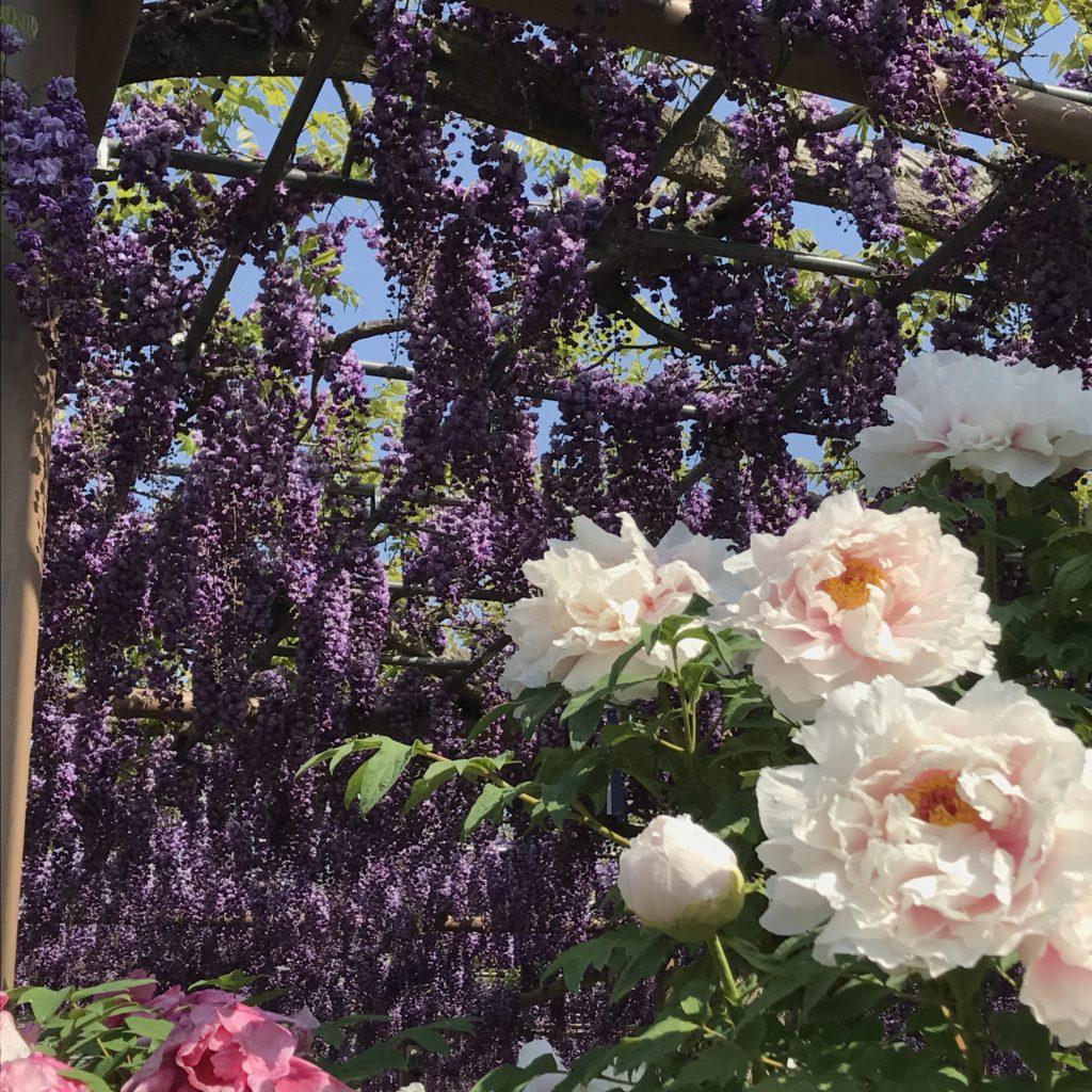 江南藤祭り会場の曼陀羅時で咲いた紫カピタン藤の写真です。晴れた青空に紫色のカピタン藤の花が浮かび上がっています。