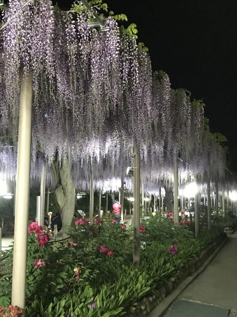 こうなん藤まつりの藤の花の様子です。会場は曼陀羅寺公園です。夜の曼陀羅寺公園の藤の花はライトアップされています。