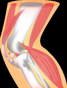 膝の靭帯の画像です。膝の靭帯には外側側副靭帯、内側側副靱帯、前十字靭帯、後十字靭帯があります。