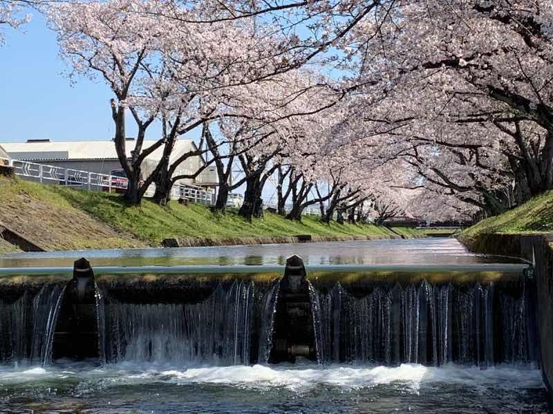 五条川の水面からみたの桜の木です。桜の花が満開に咲いています。