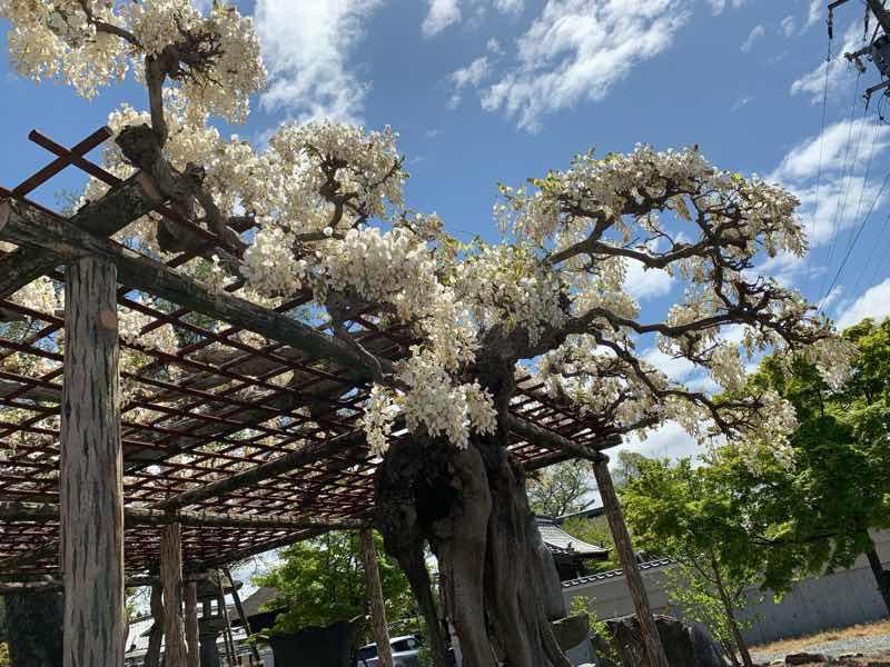 2020年の曼陀羅寺公園の様子です。早咲きのふじが満開に近い状態で咲いています。