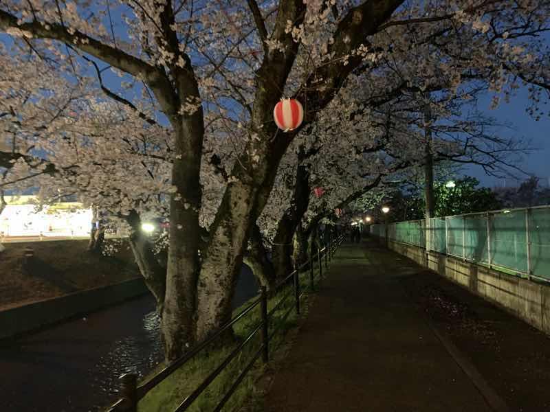 2020年の五条川の桜の様子です。 2020年はライトアップの自粛のため夜桜ランニングも暗闇の中でした。