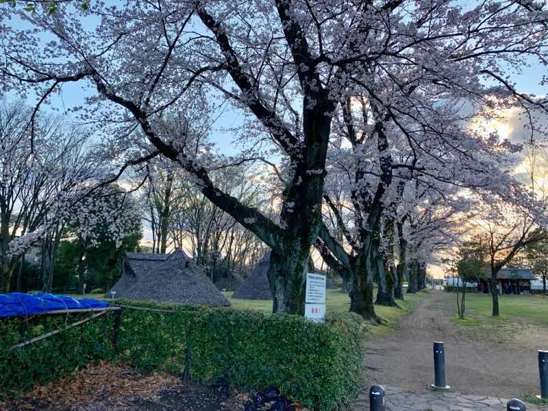 炉端遺跡公園( 竪穴式住居跡 )の様子です。桜の花が満開に咲いています。