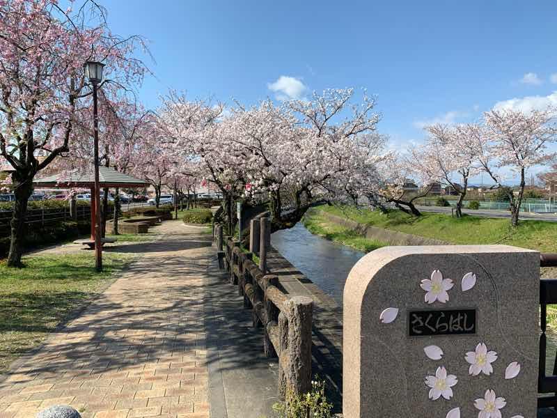 五条川に架かる、さくらはしから見る満開の桜の様子です。