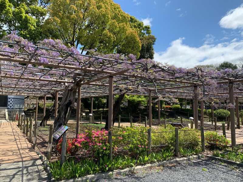 2020年の曼陀羅寺公園の様子です。藤棚の藤はまだ満開には程遠い様子ですが。紫の花がとても綺麗です。