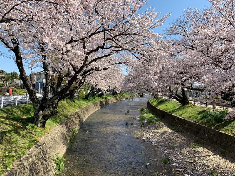 五条川沿いの桜の木です。桜の花が満開に咲いています。