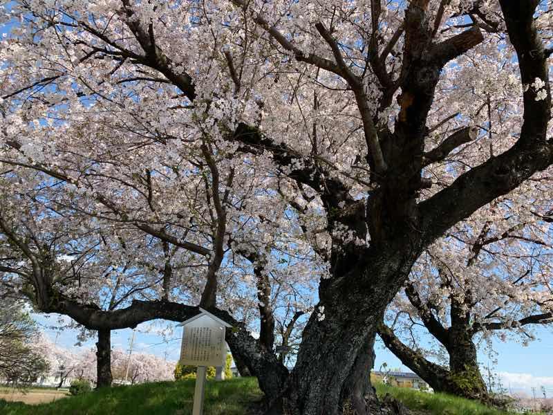 丘に見栄えのいい桜の木があり、桜の花が満開です。