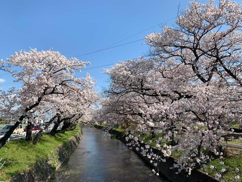 五条川沿いの桜の木です。両岸に桜の木があり、桜の花が満開です。