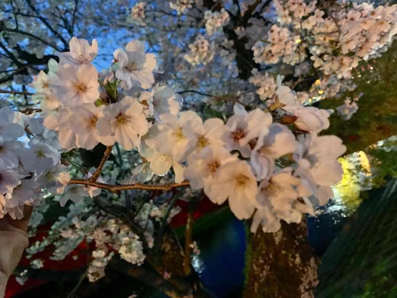 2020年の五条川の桜の様子です。 2020年はライトアップの自粛ですが、明るい場所を見つけて、桜の花を拡大した写真です。