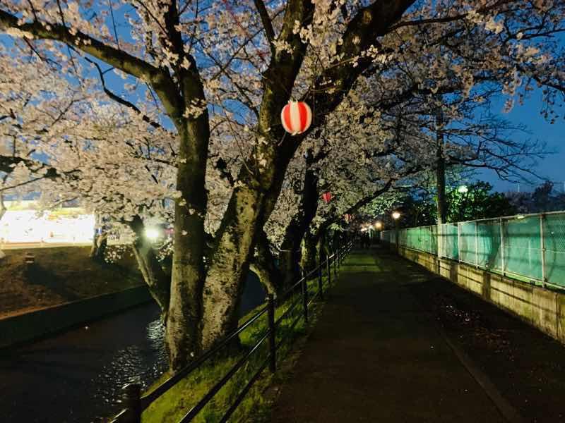 2020年の五条川の桜の様子です。 2020年はライトアップの自粛のため夜桜を画像加工した桜です。