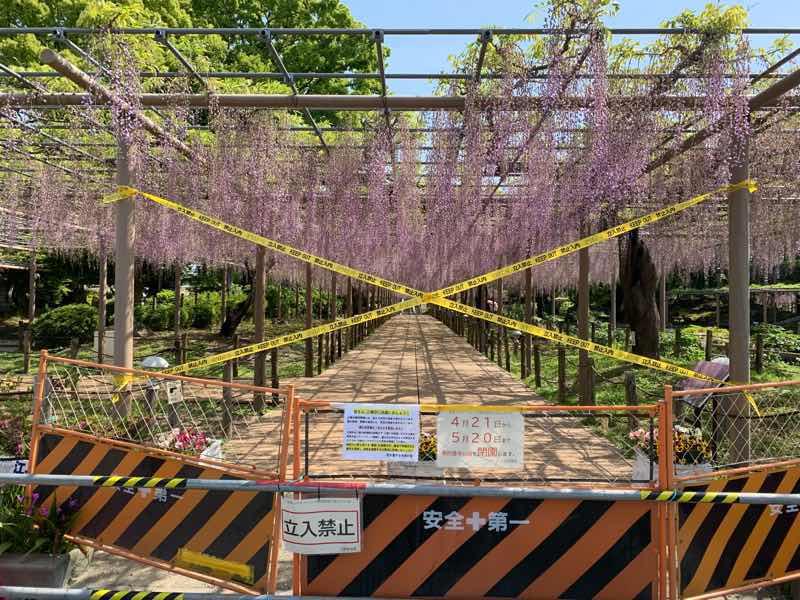 立ち入り禁止区域外からの藤の花の様子です。曼陀羅寺公園のメインの藤棚に紫の花が満開に咲いています。