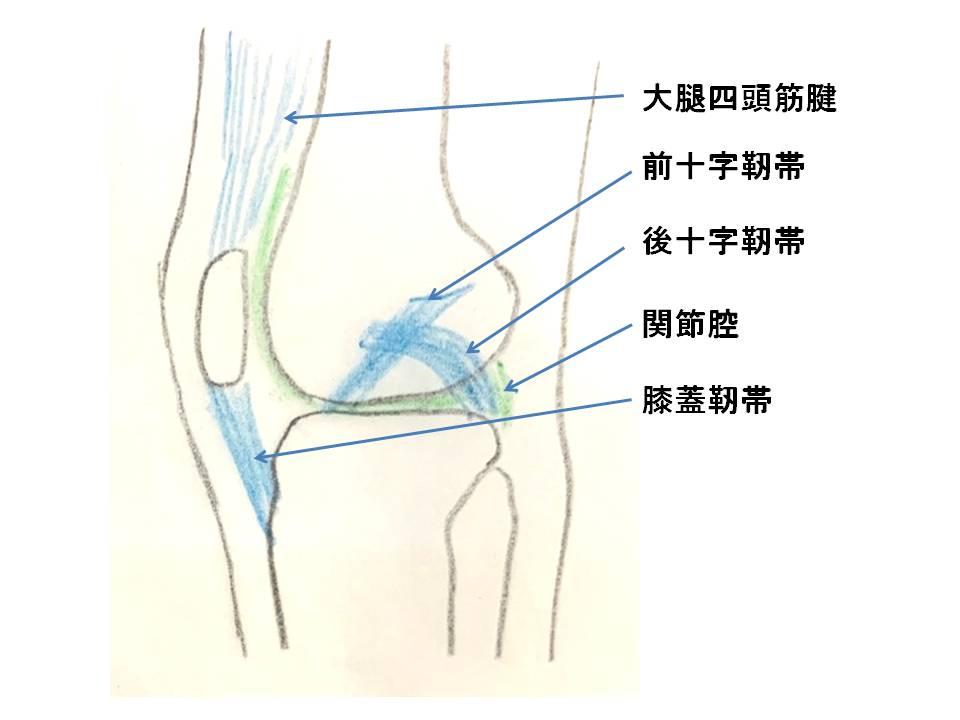 膝関節を横から見たイラストです。大腿四頭筋腱、前十字靭帯、後十字靭帯、膝蓋靭帯、関節腔の位置を示しています。
