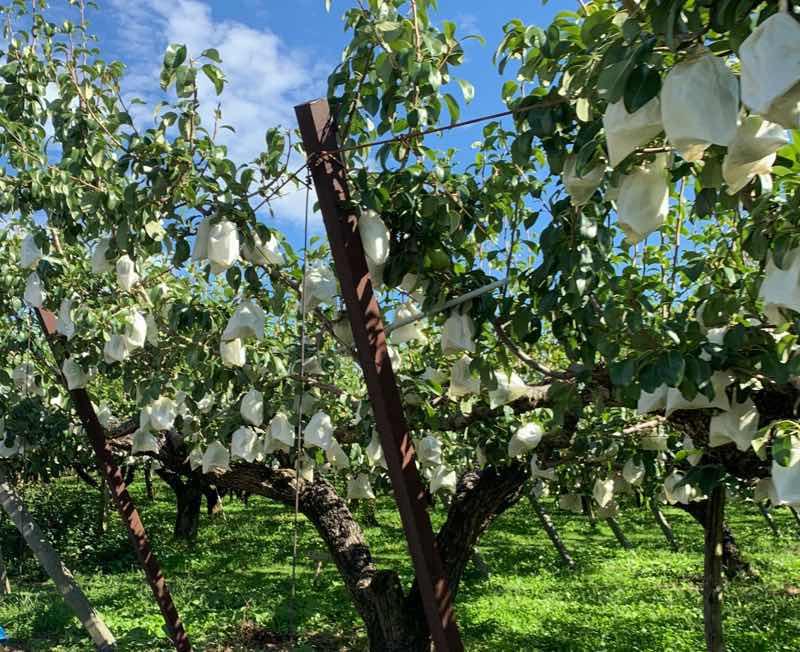 長野県松川町のりんご農場の様子の写真です。りんご一つ一つに袋がかぶせられていて、大事に生産されています。松川町の特産物はりんごです。