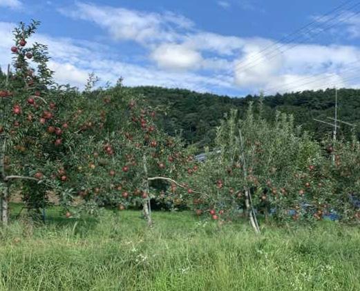 長野県松川町のりんご農場の様子の写真です。りんごは大事に生産されており、赤く実ったリンゴが収穫まちかです。松川町の特産物はりんごです。