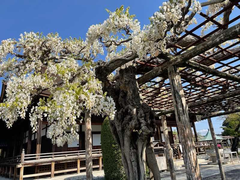 こうなん藤祭り会場の曼陀羅時で咲いた白カピタン藤の写真です。柔らかな白色と緑の葉のコントラストがきれいです。